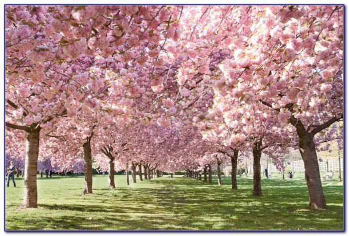Brooklyn Botanical Garden Cherry Blossom Festival 2015