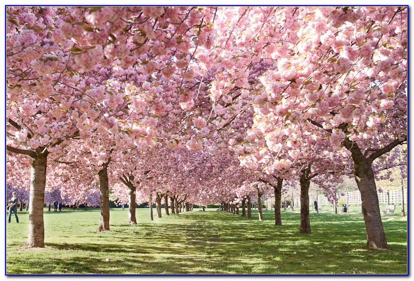 Brooklyn Botanical Garden Cherry Blossom Festival 2015 Garden Home Design Ideas 2md9ryaqoj51623