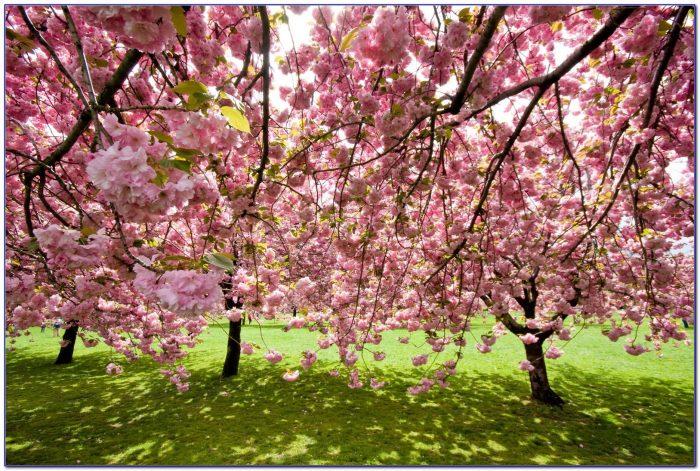 Brooklyn Botanical Garden Cherry Blossom Festival 2016