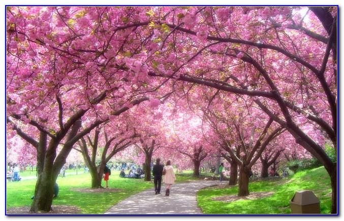 Brooklyn Botanical Garden Cherry Blossom Season