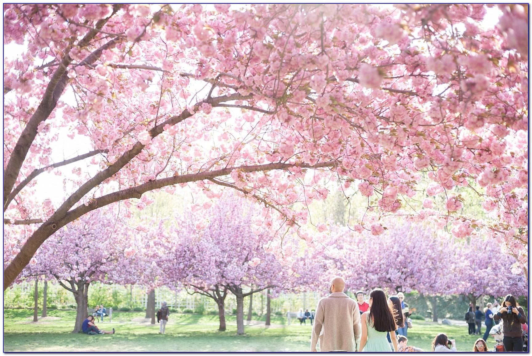 Brooklyn Botanical Garden Cherry Blossom Show
