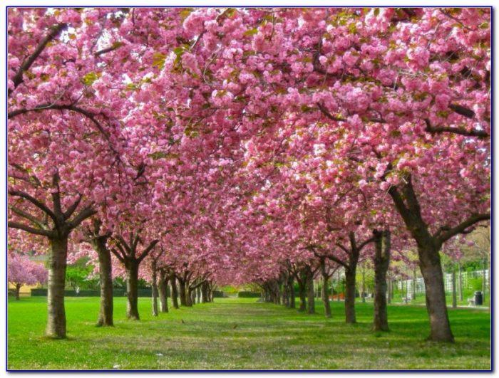Brooklyn Botanical Garden Cherry Blossom Tickets