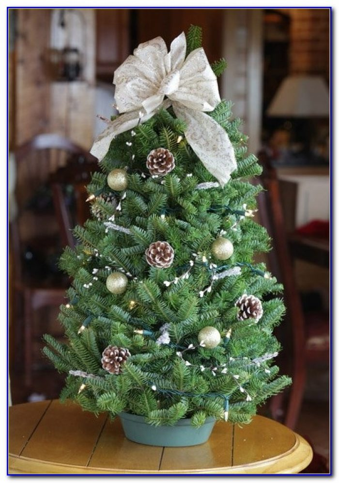 Live Tabletop Xmas Trees Tabletop Home Design Ideas